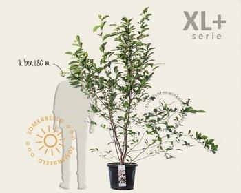 Magnolia soulangeana - XL+