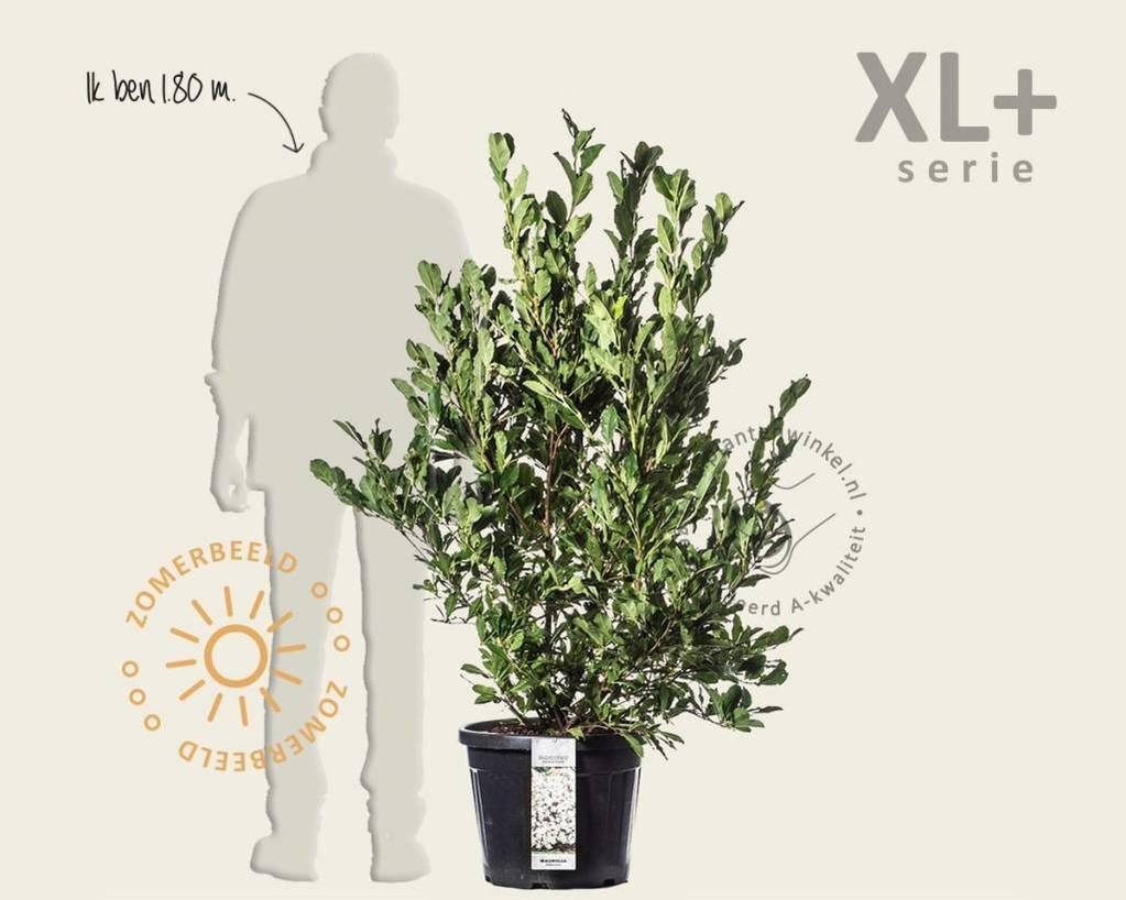 Magnolia stellata - XL+