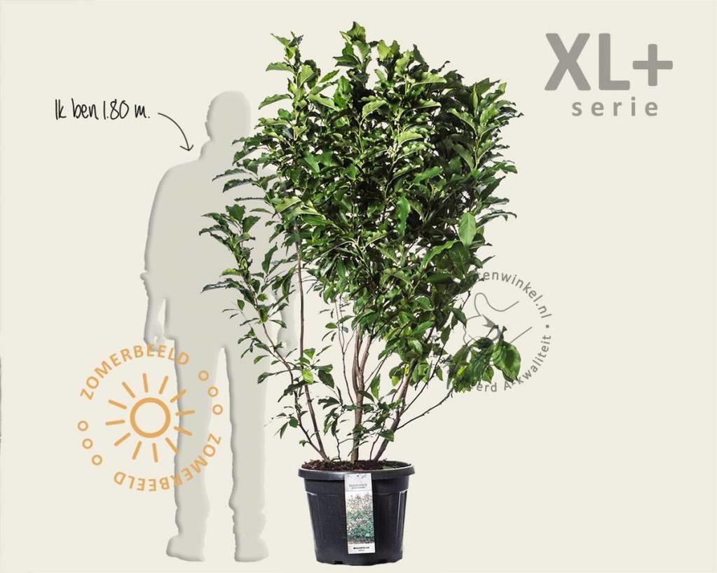 Magnolia 'Susan' - XL+