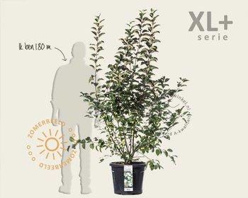 Malus 'Evereste' - XL+