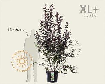 Malus toringo 'Scarlett' - XL+
