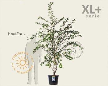 Prunus 'Accolade' - XL+