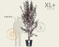 Prunus cerasifera 'Nigra' - XL+