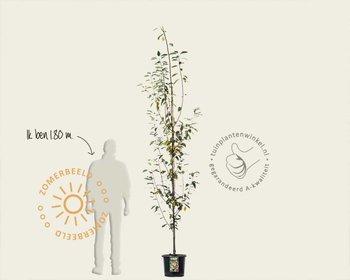 Amelanchier arborea 'Robin Hill' - beveerd