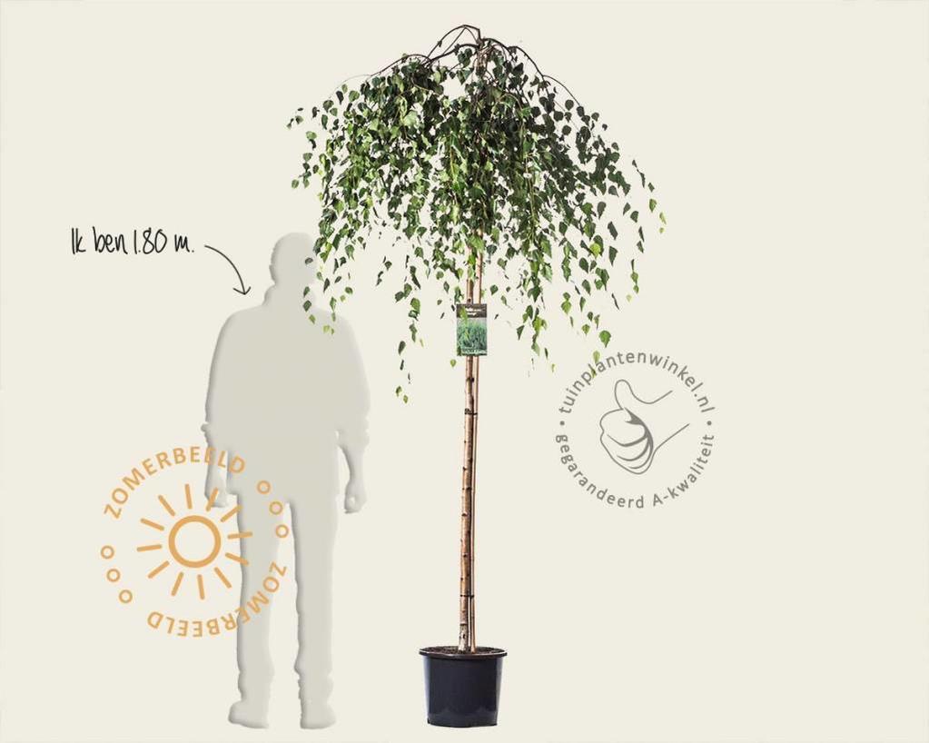 Betula pendula 'Youngii' - 180/190 cm stam