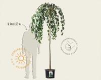 Cercidiphyllum japonicum 'Pendulum' - 180 cm stam