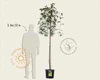 Laburnum alpinum 'Pendulum' - 180 cm stam