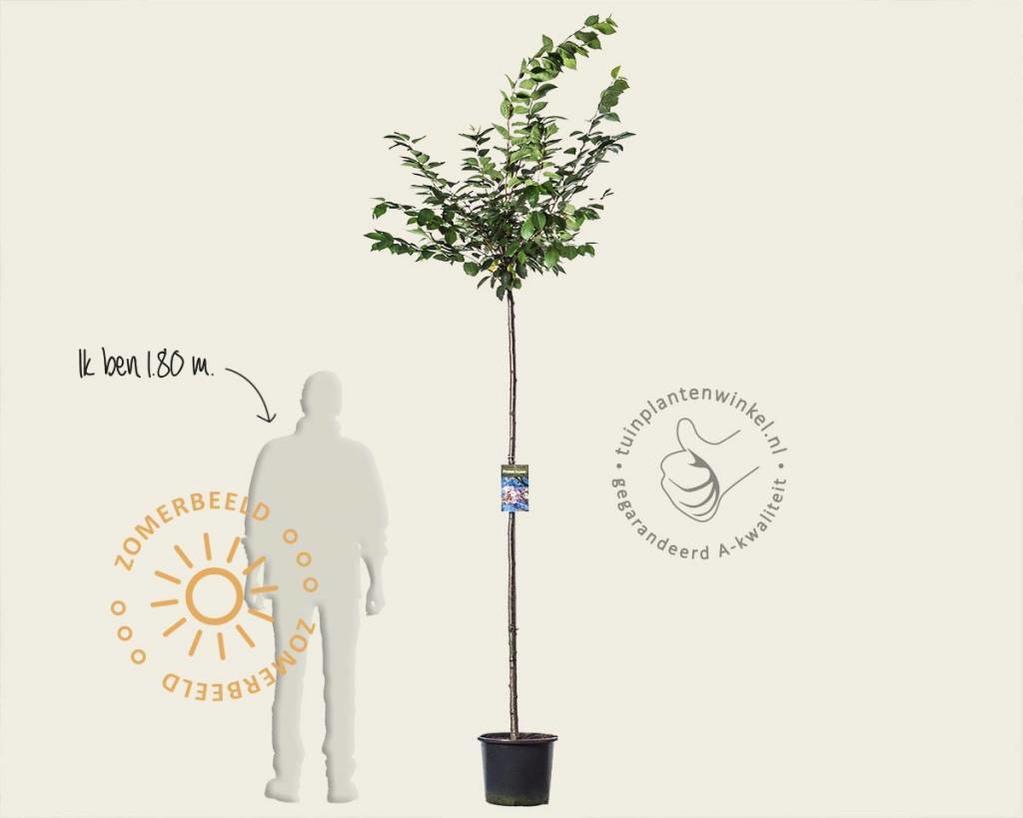 Prunus 'Accolade' - 180 cm stam