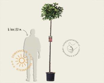 Quercus palustris 'Green Dwarf' - 180 cm stam