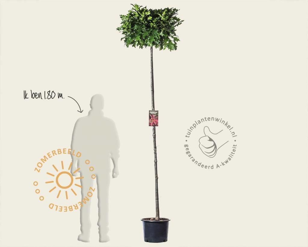 Quercus palustris 'Green Dwarf' - 200 cm stam