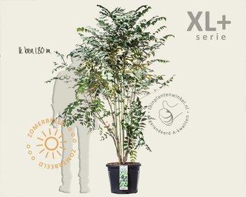 Decaisnea fargesii - XL+