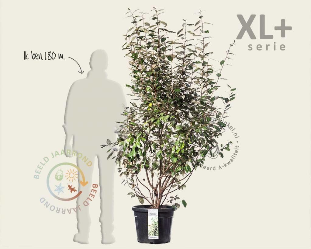 Elaeagnus ebbingei - XL+