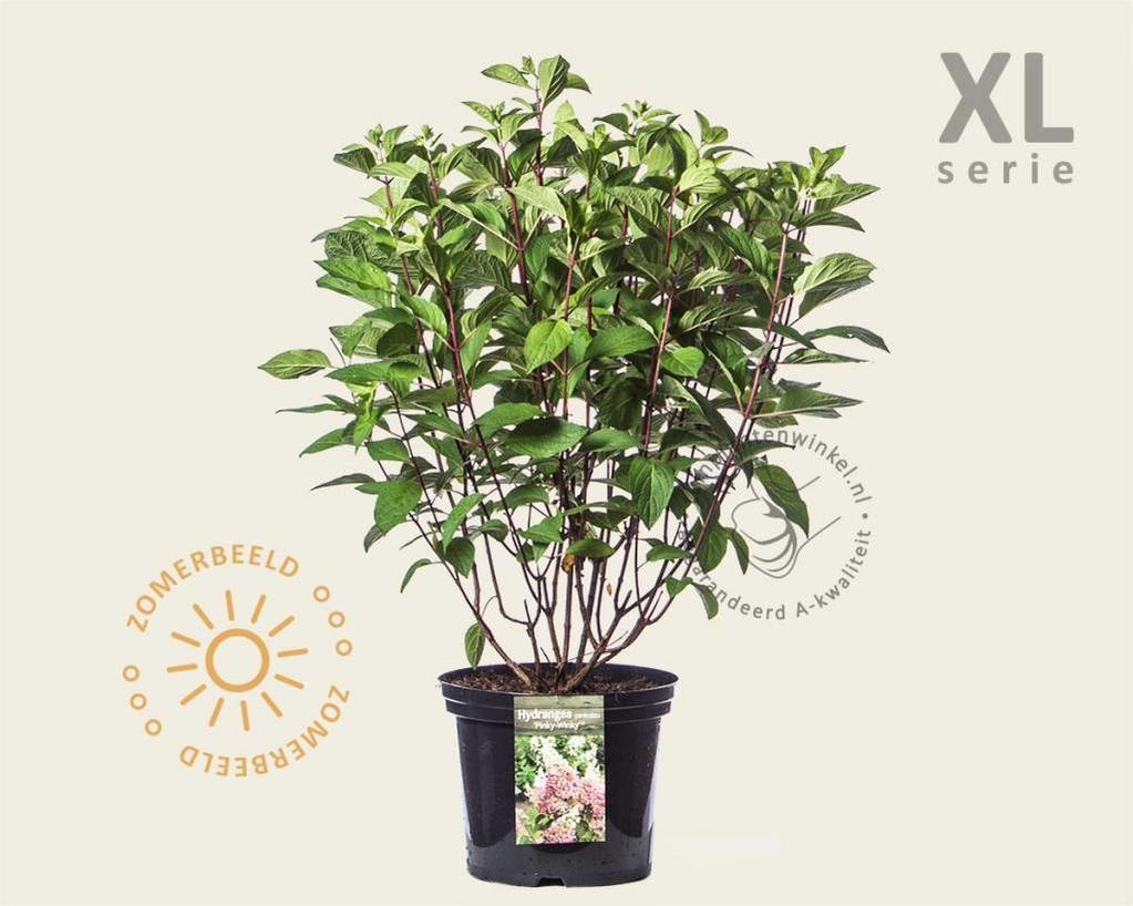 Hydrangea paniculata 'Pinky Winky' - XL
