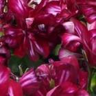 Geraniums hangend