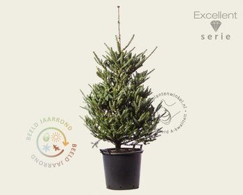 Abies koreana 'Silberlocke' 080/100 - Excellent