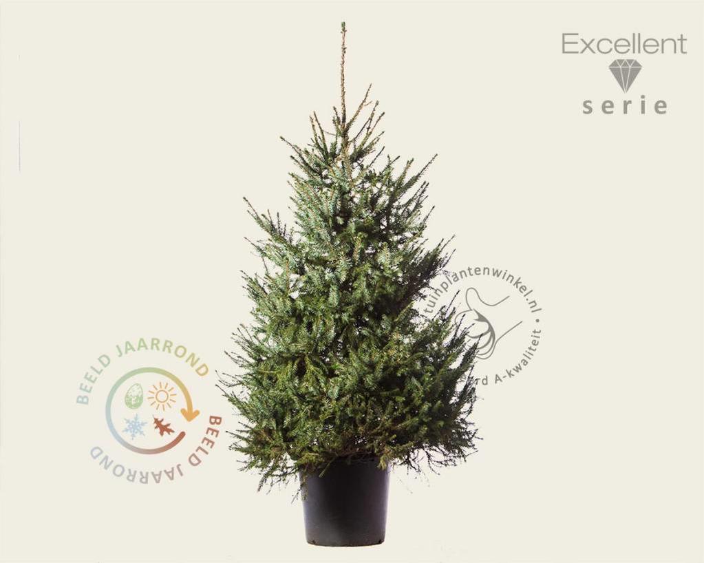 Picea omorika 125/150 - Excellent