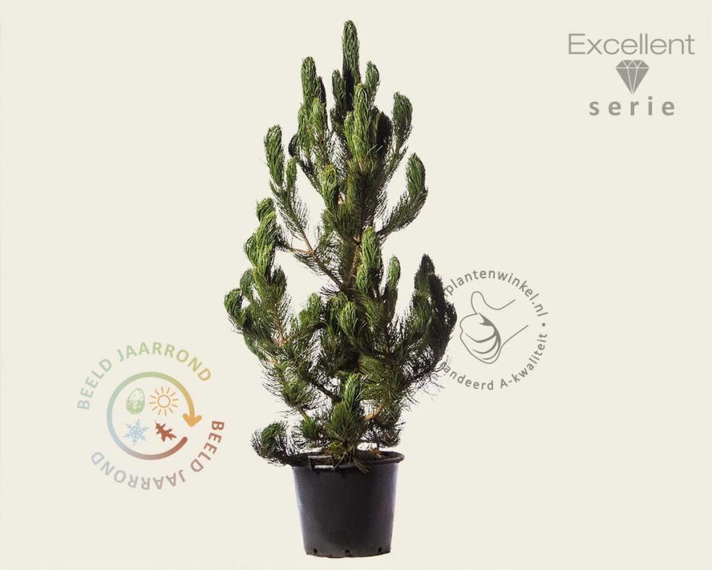 Pinus heldreichii 'Satellit' 150/175 - Excellent