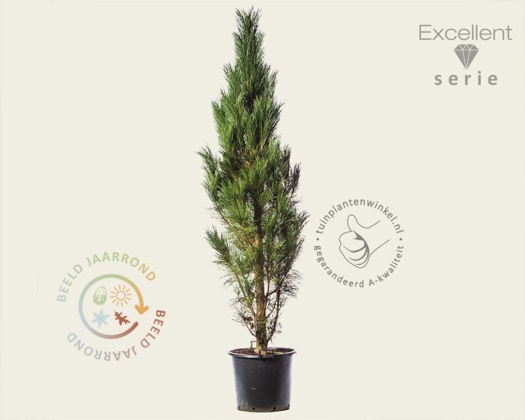Pinus nigra 'Molette' 200/250 - Excellent