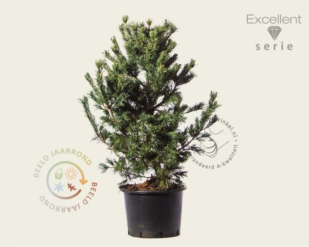 Pinus parviflora 'Schoon's Bonsai' 080/100 - Excellent