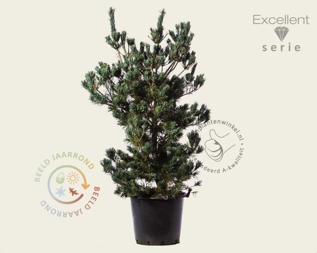 Pinus parviflora 'Tempelhof' 125/150 - Excellent