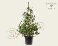 Pinus peuce 125/150 - Excellent