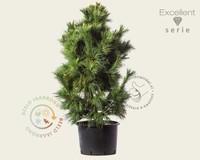 Pinus schwerinii 'Wiethorst' 100/125 - Excellent