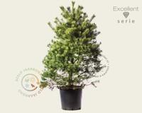 Pinus sylvestris 125/150 - Excellent