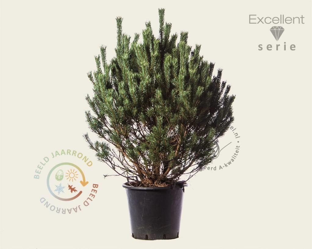 Pinus sylvestris 'Watereri' 100/125 - Excellent