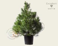 Pinus wallichiana 125/150 - Excellent