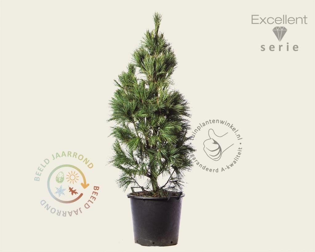 Pinus wallichiana 'Densa' 125/150 - Excellent