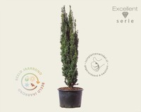 Taxus baccata 'Robusta' 120/140 - Excellent