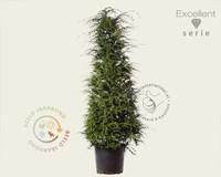 Tsuga heterophylla 200/250 - Excellent