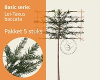 Lei-Taxus - Basic - pakket 5 stuks + EXTRA'S!