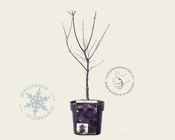 Acer palmatum 'Black Lace'
