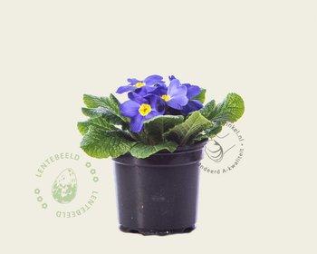 Primula acaulis 'Blauw met geel oog'