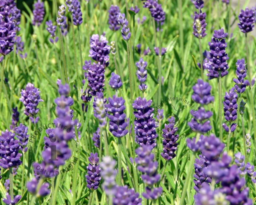 lavandula angustifolia 39 hidcote 39 lavendel vertrouwd. Black Bedroom Furniture Sets. Home Design Ideas