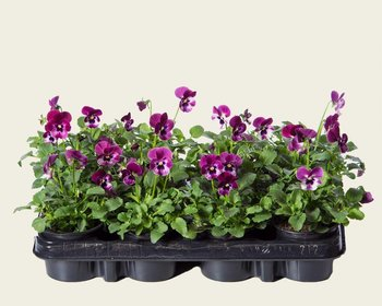 Viool Mini 'Sorbet Raspberry' - Tray 12 st.