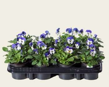Viool Mini 'Sorbet Delfts Blauw' - Tray 12 st.