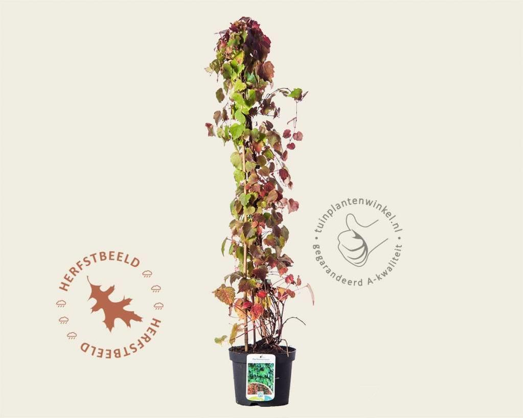 Parthenocissus tricuspidata 'Veitch Boskoop'