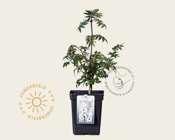 Syringa pinnatifolia