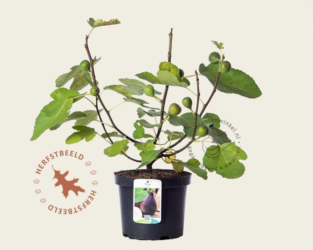 Ficus carica 'Del Portogallo'