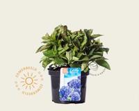 Hydrangea macrophylla 'Little Blue'