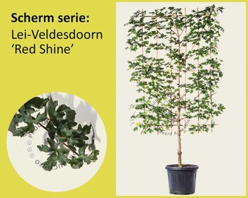 Lei-Veldesdoorn 'Red Shine' - Scherm