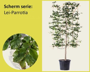 Klik hier om Lei-Parrotia - Scherm te kopen