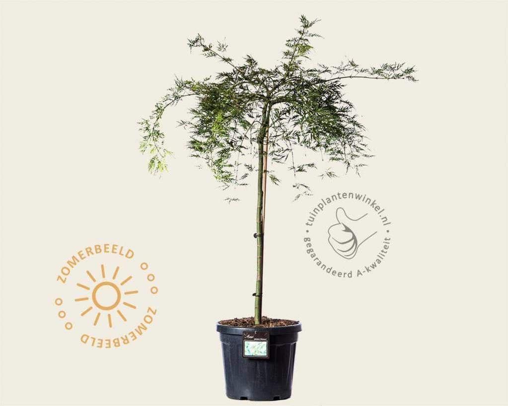 Acer palmatum 'Dissectum' - 080 cm stam