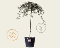 Acer palmatum 'Garnet' - 080 cm stam