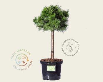 Pinus densiflora 'Jane Kluis' - 040 cm stam