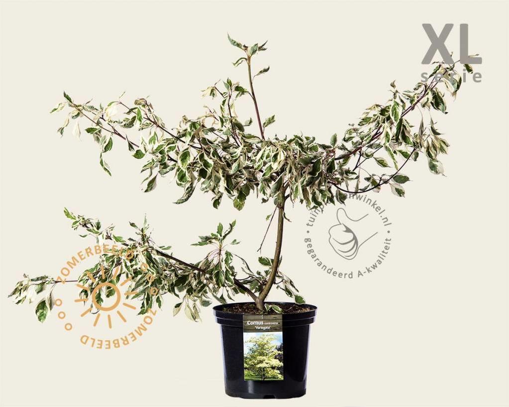 Cornus controversa 'Variegata' - XL