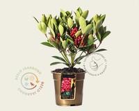 Skimmia japonica 'Obsession'