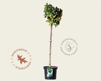Ginkgo biloba 'Mariken' - 080 cm stam